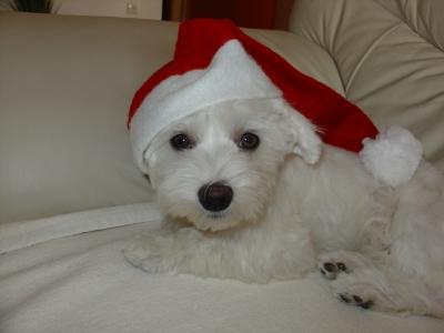 Malteser Hund mit Weihnachtshut